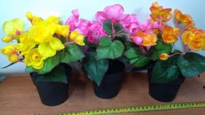 begonia w doniczce DON03252